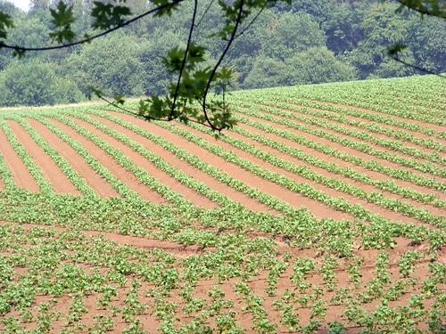Jong maïsveld