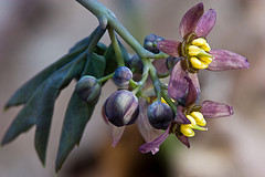 Blue Cohosh by Jeremy Martin