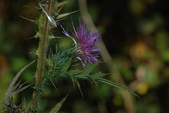 Yet another Cirsium