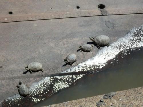 Schildpadden in Puerto Madero?