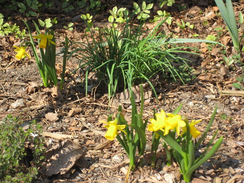 Tete a Tete daffodils in the herb garden (by RPOPtream)
