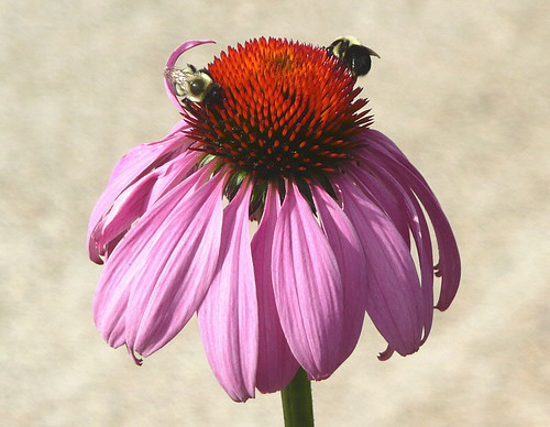 Bees on purple coneflower