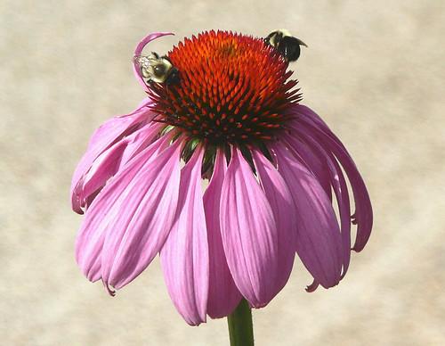Bees on purple coneflower