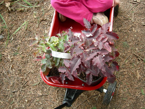 Mahonia aquifolium plants in red wagon