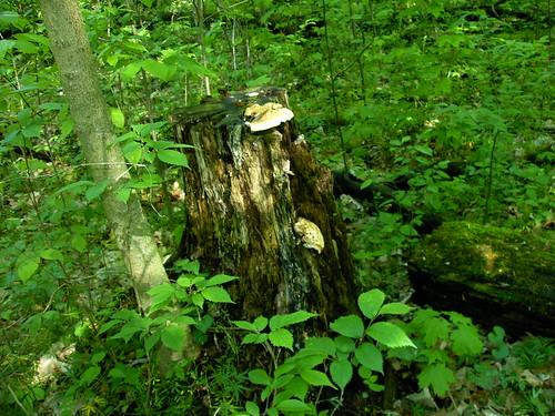 Mushrooms Growing on Tree Stump