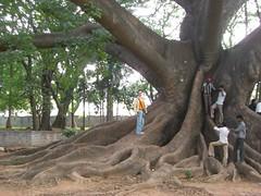 En el árbol centario