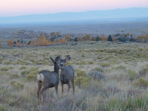 Mule Deer at Great Sand Dunes National Park