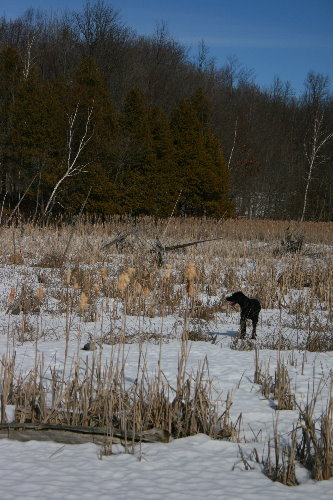 Raven in the wetland