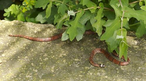 Coral snake. Calliophis macclellandi. Highly Venomous.