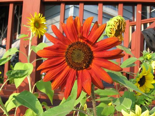 Sunflowers_0002