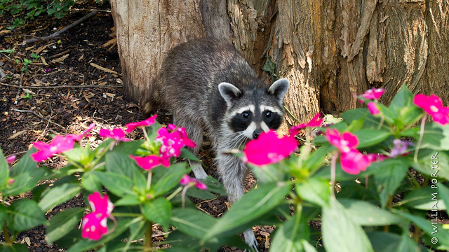 Raccoon at the Arboretum, ready for his close up