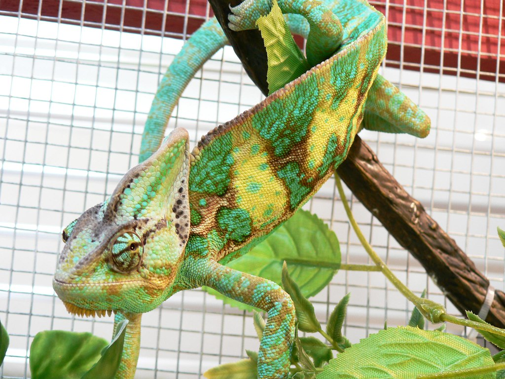Veiled Chameleon by LaertesCTB, on Flickr