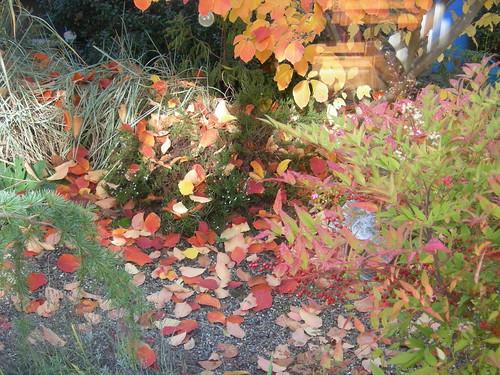 Witch hazel leaves falling