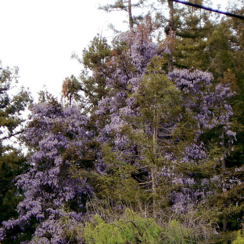Holy Cow!  A Purple Redwood Tree