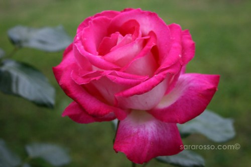 A Beautiful Fucshia Rose