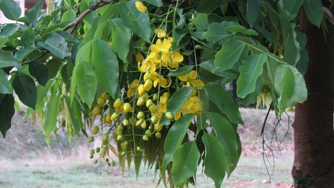 indian laburnum in flower