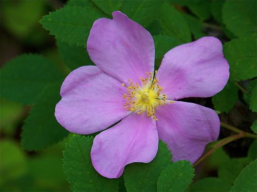 Wild rose blossom, mature