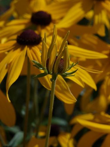 Sunflower, Opening