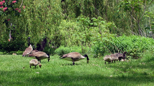 Canadian Geese in the islands