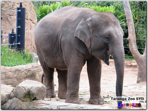 Taronga Zoo - Asian Elephant