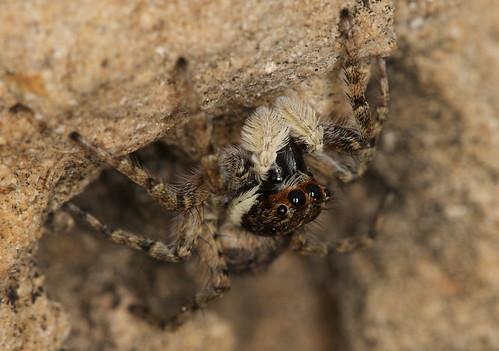 Menemerus semilimbatus (female) - S'Albufera de Mallorca