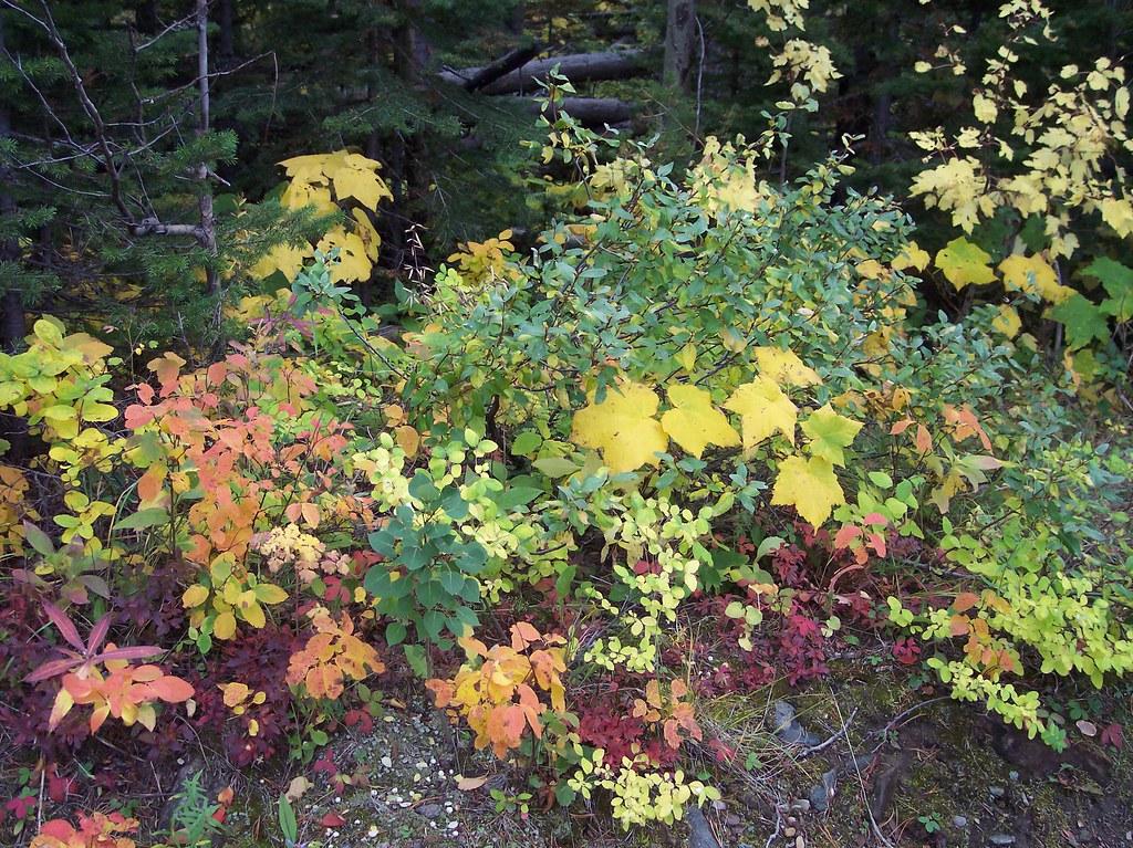 autumn leaves, Waterton National Park, Alberta, Canada