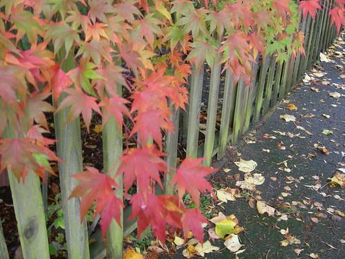 Maple leaves on fence