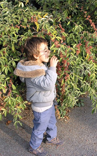 Federico eats Eleagnus umbellata