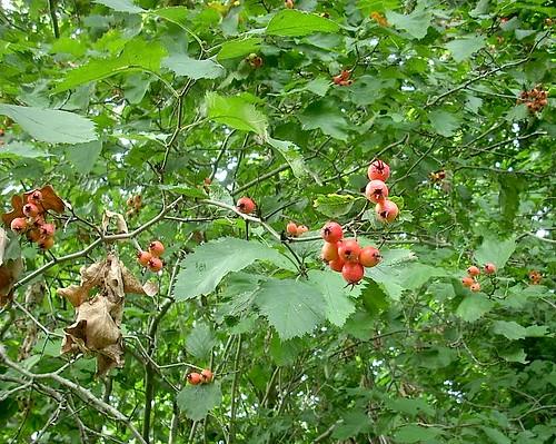 Strauch mit roten Beeren