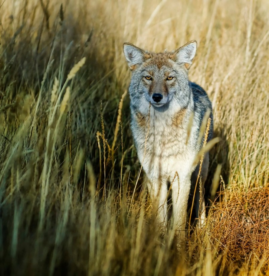 The Wild Side of Yellowstone