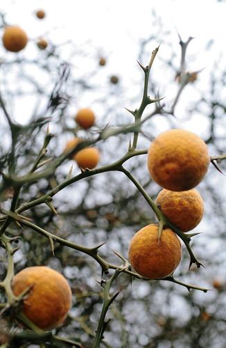 Tri-folate orange