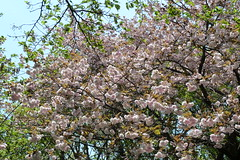生田緑地の桜(Cherry blossoms at Ikuta ryokuchi, Japan, 2010)