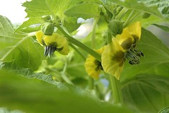 Flowers of iPhysalis philadelphica/i