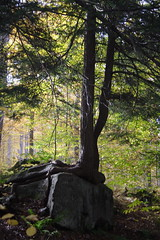 Hemlock on the Rocks