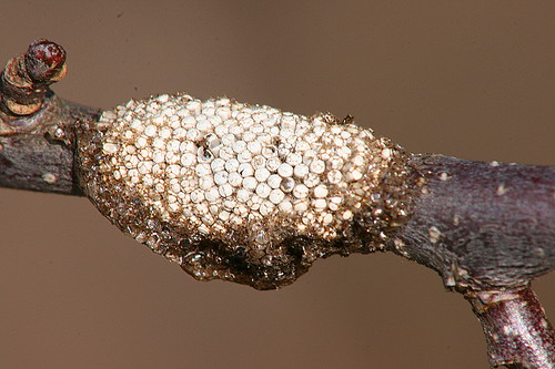 Eastern Tent Caterpillar eggs