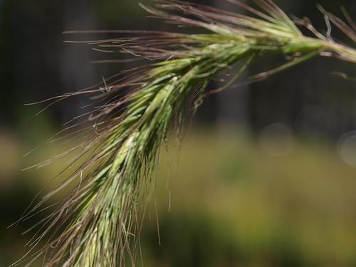 Canada Wild-Rye Grass