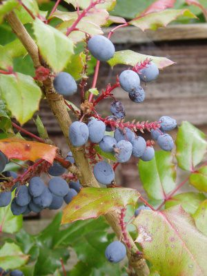 autumn of course is the time of berries. I love the deep blueness of these. taken by me, in mums garden.