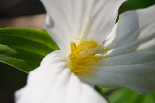 Large-flowered Trillium Closeup