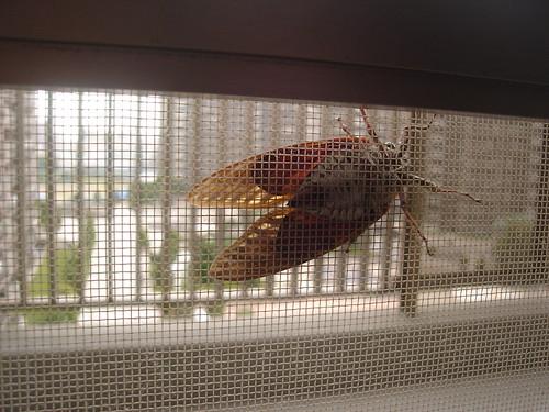 アブラゼミ (Graptopsaltria Nigrofuscata)