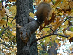 A taunting fox squirrel