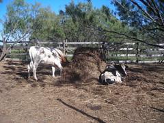 Bunkers cows