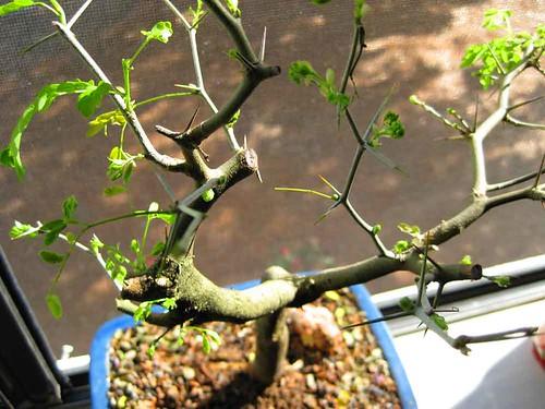 bonsai 002