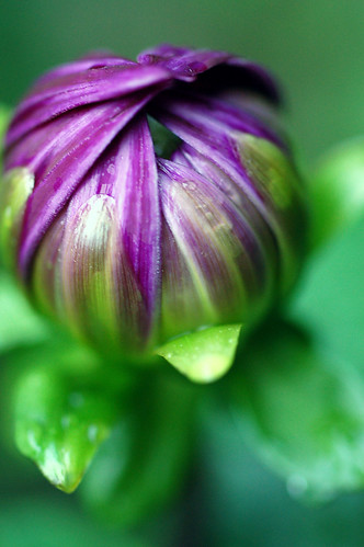 big fat purple dahlia about to bloom