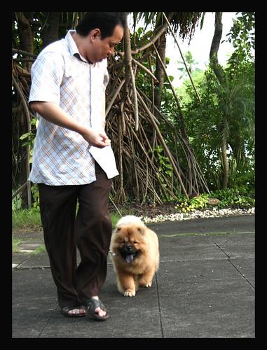 Eks Chow puppies in Thailand  Vincent x Money litter