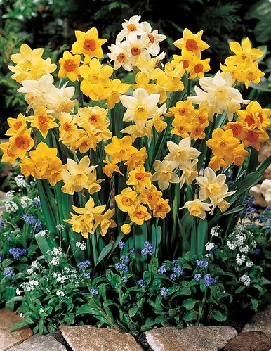 Fragrant Jonquil Daffodil  Mix by you.