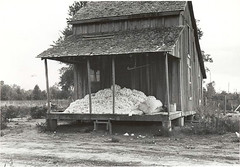 Cotton on porch of sharecropper's home, Maria ...