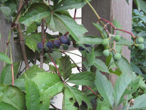 Grape woodbine berries
