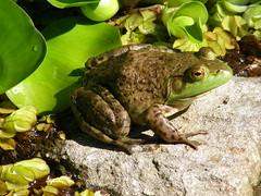 Rana toro / Bull frog (Rana catesbeiana)