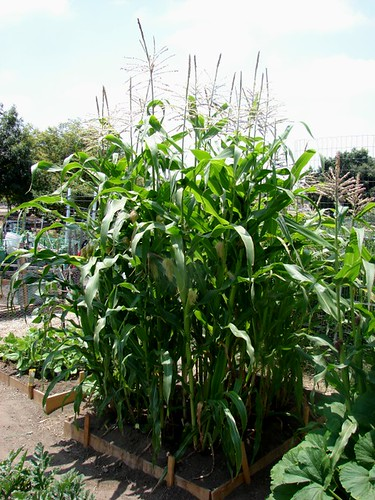 Silver Queen corn patch