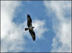 Osprey (by StarbuckGuy)
